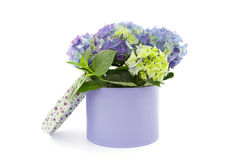 Hydrangea in box Royalty Free Stock Image