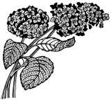 Hydrangea branch Stock Photo
