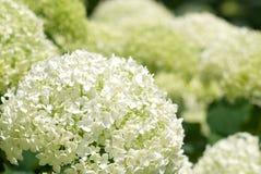 Hydrangea branco Imagem de Stock Royalty Free