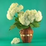 Hydrangea branco Fotografia de Stock Royalty Free