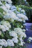 Hydrangea branco Foto de Stock Royalty Free