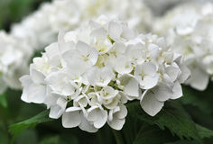 Hydrangea branco (Hortensia) Foto de Stock Royalty Free