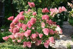 Free Hydrangea Bush. Stock Images - 111412654