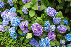Hydrangea bush Royalty Free Stock Images
