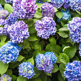 Hydrangea bush Royalty Free Stock Image