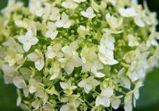 Hydrangea bush of bright closeup in the summer garden Royalty Free Stock Photos