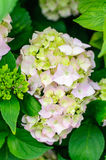 Hydrangea bush flower Royalty Free Stock Photos