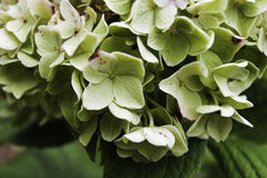 Hydrangea Bush. Micro photo of a fully bloomed Hydrangeas in a garden Stock Images
