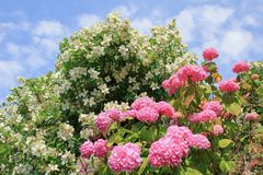Hydrangea bush and jasmine bush, against blue sky with fluffy clouds. Hydrangea bush with pink blossoms and white jasmine bush, against blue sky with fluffy royalty free stock photography