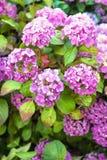 Hydrangea bush Royalty Free Stock Photos