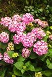 Hydrangea bush Stock Photo