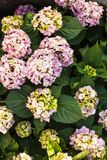 Hydrangea bush Stock Images