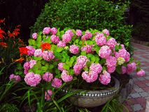 Hydrangea bush with pink flowers on flowerbed stock photography