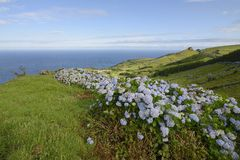 Hydrangea bushes, Azores Royalty Free Stock Images