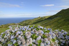 Hydrangea bushes, Azores Stock Images