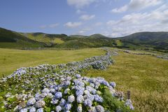 Hydrangea bushes, Azores Stock Photos