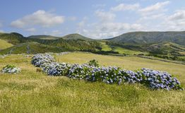 Hydrangea bushes, Azores Royalty Free Stock Photos