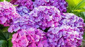 Hydrangea bushes Royalty Free Stock Images
