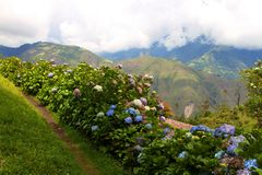 HYDRANGEA BUSHES IN THE MOUNTAINS stock image