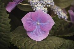 Hydrangea chinensis flower Royalty Free Stock Photo