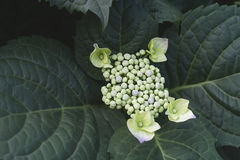 Hydrangea chinensis flowers blooming Royalty Free Stock Photography
