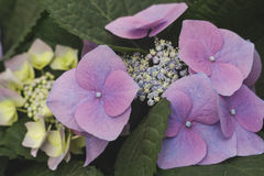 Hydrangea chinensis flowers Royalty Free Stock Photography
