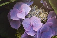 Hydrangea chinensis flowers Royalty Free Stock Photos