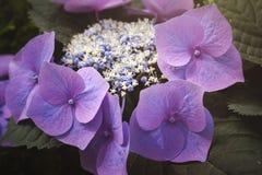Hydrangea chinensis flowers Stock Photo