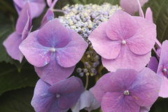 Hydrangea chinensis flowers Stock Photos