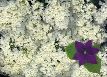 Hydrangea and Clematis Stock Image