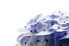Hydrangea Close-up. Isolated on a white background Stock Images