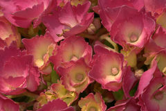 Hydrangea close up Stock Photography