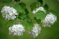 Hydrangea. Close up of five white Hydrangea blossom in spring stock photos