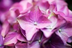 Hydrangea Royalty Free Stock Images