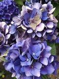 Hydrangea Close Up. Close up of purple hydrangea Stock Photography