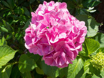 Hydrangea. Closeup of Pink hydrangea flower in the garden Royalty Free Stock Images