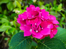Hydrangea. Closeup of Pink hydrangea flower in the garden Stock Photo