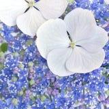 Hydrangea Closeup Stock Photos