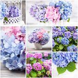 Hydrangea collage. Hydrangea flower decor for the home. Collage from seven photos Stock Images