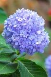 Hydrangea (Common benennt Hydrangea oder Hortensia) Stockfotos