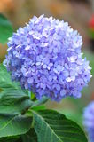 Hydrangea (common names hydrangea or hortensia) Stock Photos