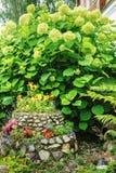 Hydrangea (common names hydrangea or hortensia) Stock Photography