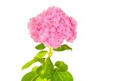 Hydrangea common names hydrangea or hortensia (Hydrangea macroph Stock Photos