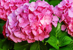 Hydrangea common names hydrangea or hortensia. (Hydrangea macrophylla Royalty Free Stock Images