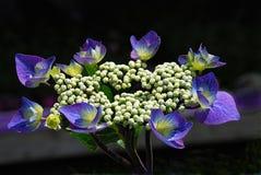 Hydrangea comum Fotografia de Stock