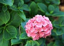 Hydrangea cor-de-rosa Imagem de Stock