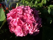 Hydrangea cor-de-rosa Foto de Stock Royalty Free