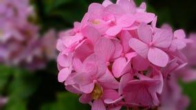 Hydrangea cor-de-rosa Imagens de Stock Royalty Free