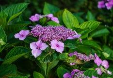 Hydrangea cor-de-rosa Imagens de Stock