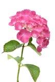 Hydrangea cor-de-rosa com folhas em um fundo branco Foto de Stock